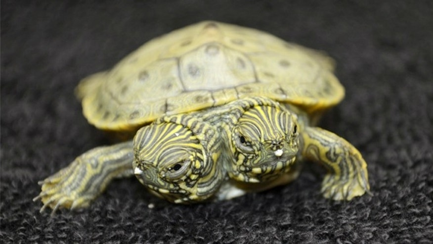 June 25, 2013: Thelma and Louise, a two-headed Texas cooter turtle, is seen in an undated photo provided by the San Antonio Zoo.