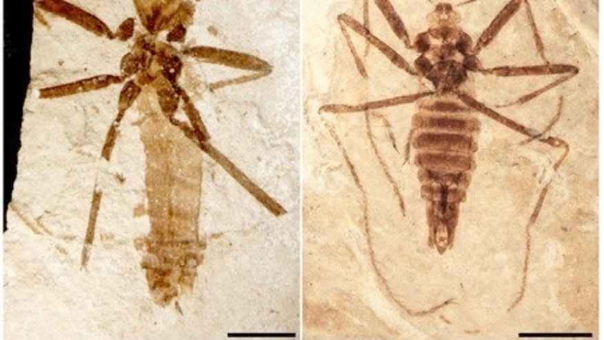 The <i>Saurophthyrus exquisitus</i> flea dined on the blood of pterosaurs, or flying reptiles, about 125 million years ago.