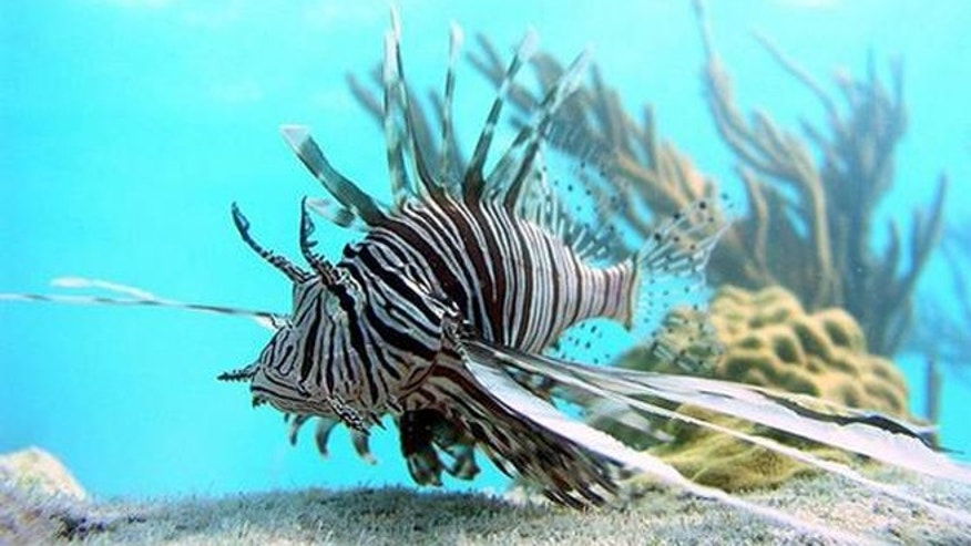 A popular aquarium fish and invasive predator, lionfish have a fan of soft, waving fins and venomous spines.
