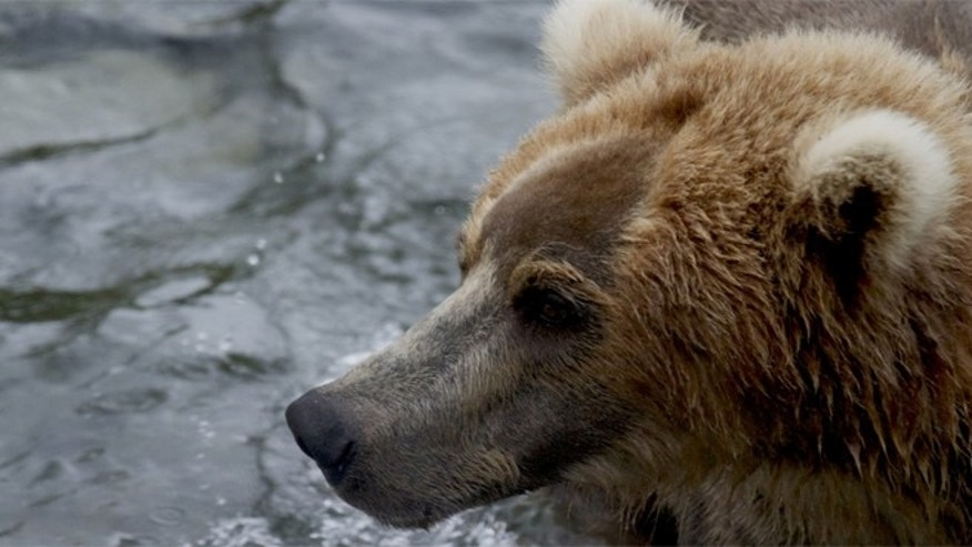 The every day activities of brown bears at Alaska's Katmai National Park & Preserve are captured on camera and streamed live online.