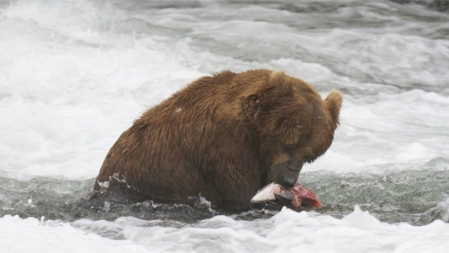 A brown bear in Alaska eats a salmon.
