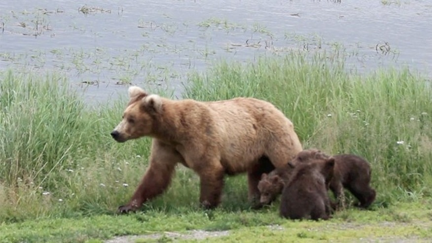 A brown bear and her cubs.