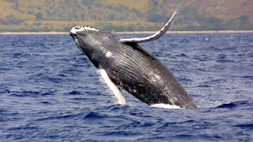 A picture of a Humpback Whale. A team of scientists and documentary filmmakers will start their search for the 'world's loneliest whale' this fall.