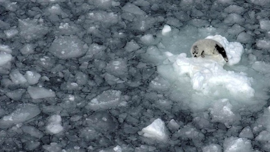 Dwindling sea ice is leaving vulnerable baby harp seals stranded in greater numbers, according to an analysis by the Duke Marine Lab and the International Fund for Animal Welfare.