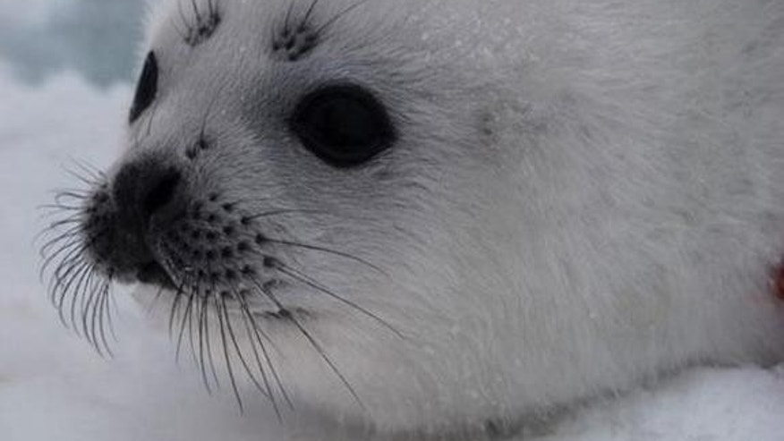 Harp seals can grow up to 6 feet long and weigh 400 pounds.