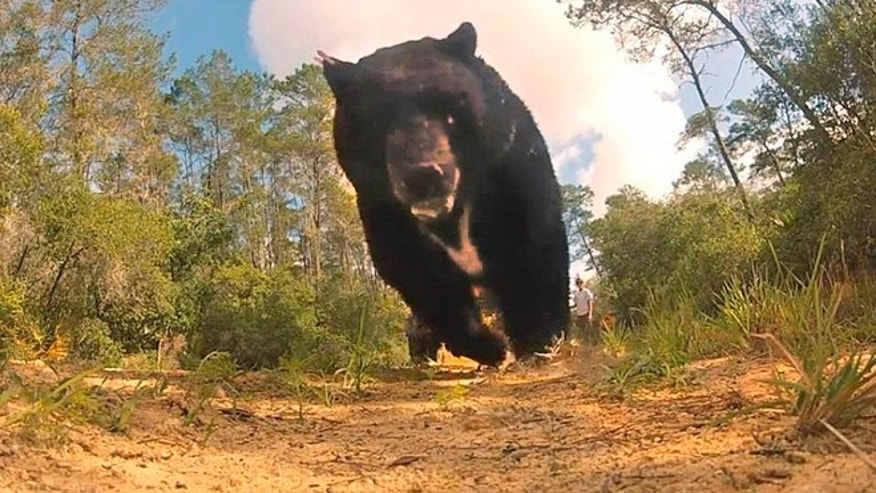 May 28, 2013: Once released by Florida Fish and Wildlife Commission officials, this 620-pound bruin -- The largest black bear ever captured in Florida -- trampled a GoPro camera in his haste.