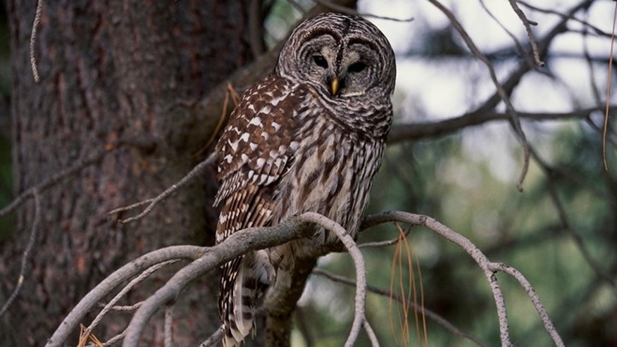 To help out the northern spotted owl, an endangered species in the Pacific Northwest, the U.S. Fish & Wildlife Service plans to shoot and kill the barred owl.
