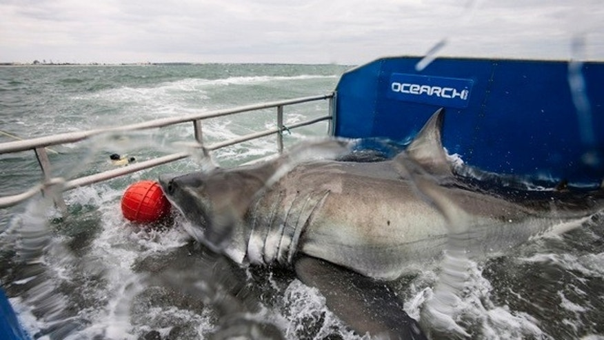 """Lydia"" the great white shark aboard the OCEARCH research vessel during a tagging expedition."