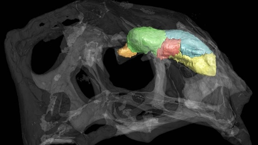 The transparent skull and opaque brain cast of Citipati osmolskae, an oviraptor dinosaur, is shown in this CT scan. The endocast is partitioned into the following neuroanatomical regions: brain stem (yellow), cerebellum (blue), optic lobes (red), cerebrum (green), and olfactory bulbs (orange).