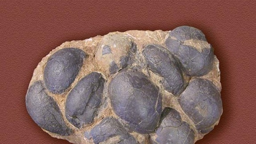 Many fossilized dinosaur eggs have been found, at over 200 sites around the world. Very rarely do the eggs have the preserved parts of embryos in them, so it is often difficult to determine the species of the dinosaur. This picture was taken on