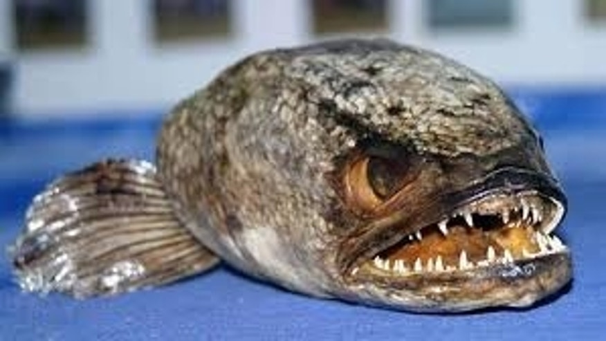 This fish is even meaner than it looks