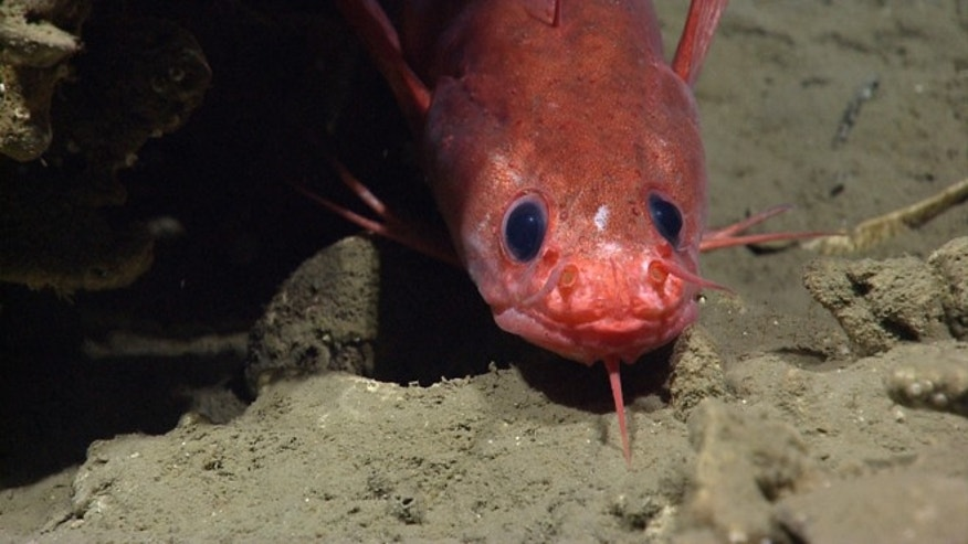 A Gaidropsarus peaking out from under a carbonate rock, during the deep sea dive.