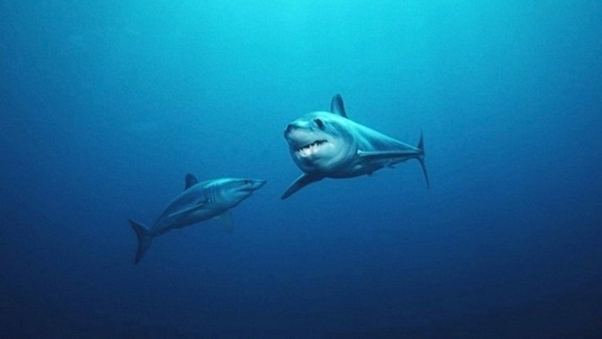 Two shortfin mako sharks, which are fast-moving and streamlined fish. They propel themselves through the water with short strokes of their thick, powerful tails.