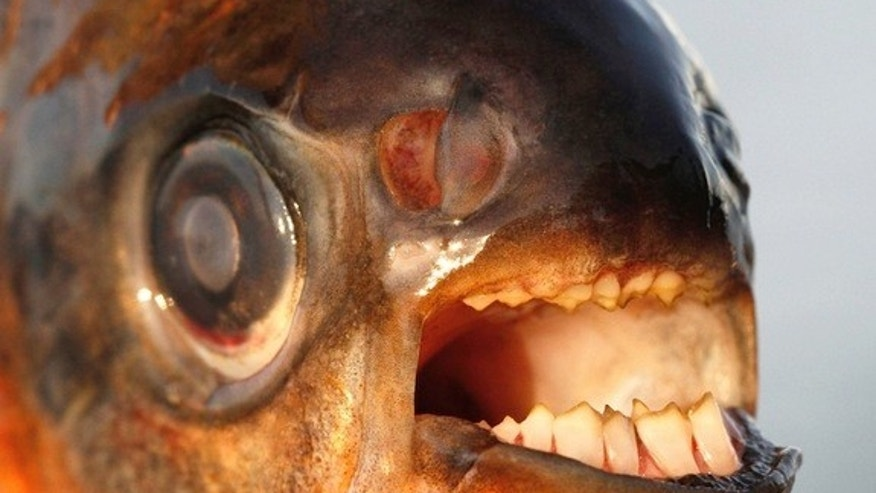 This red-bellied pacu recently caught in Denmark could be a sign that the fish is invading Scandinavian waters.