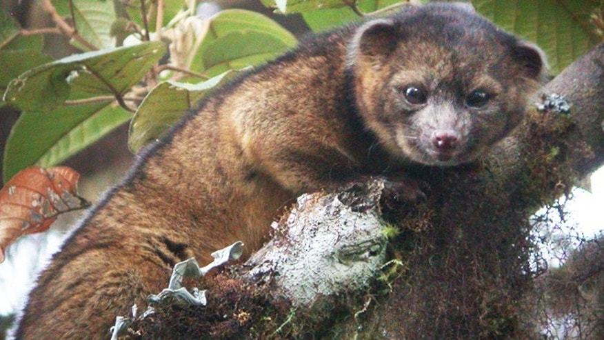Aug. 15, 2013: The Smithsonian announced that the olinguito, which they had previously mistaken for an olingo, is actually a distinct species.
