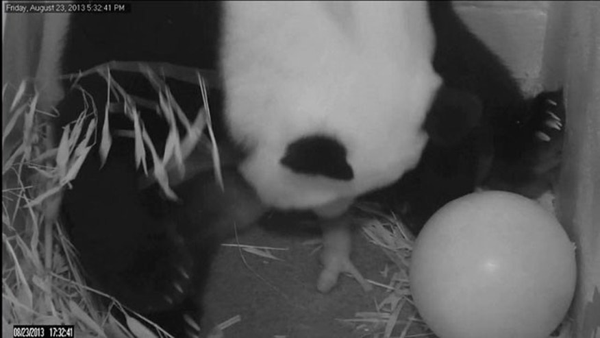 In this image from video provided by the Smithsonian National Zoo, Mei Xiang gives birth to a cub two hours after her water broke Friday, Aug. 23, 2013, at the National Zoo in Washington. (AP Photo)