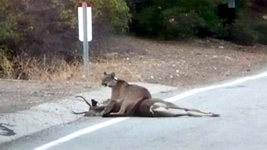 A mountain lion straddles a deer on a remote part of the Mulholland Highway in the Santa Monica Mountains of LA County.