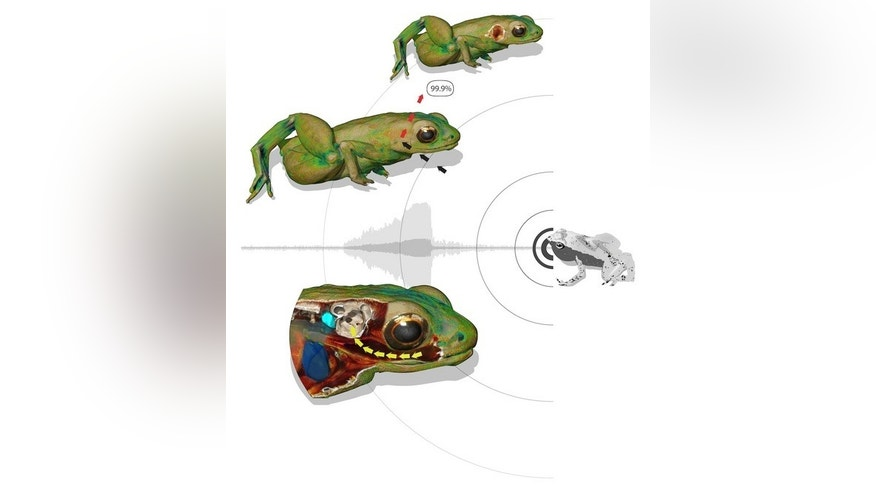 This illustration shows how a Gardiner's frog can hear with its mouth. Top left: the skin of the animal reflects 99.9 percent of an incoming sound wave, hitting the body close to the inner ear. Without a middle ear, sound waves cannot be transp