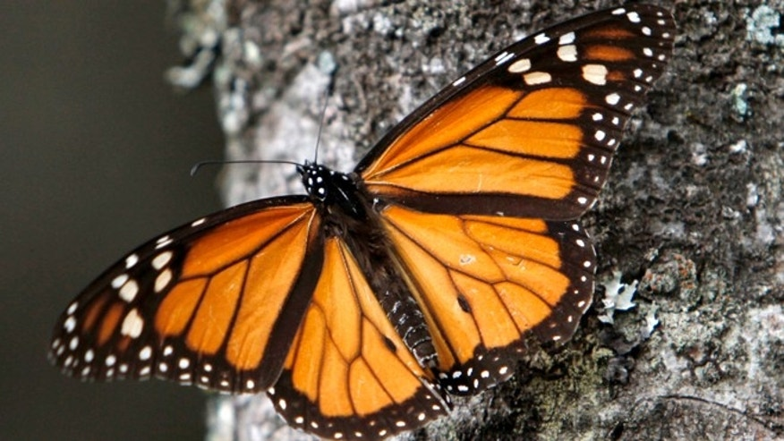 A Monarch butterfly sits on a tree trunk at the Sierra Chincua Sanctuary in the mountains of Mexico's Michoacan state.