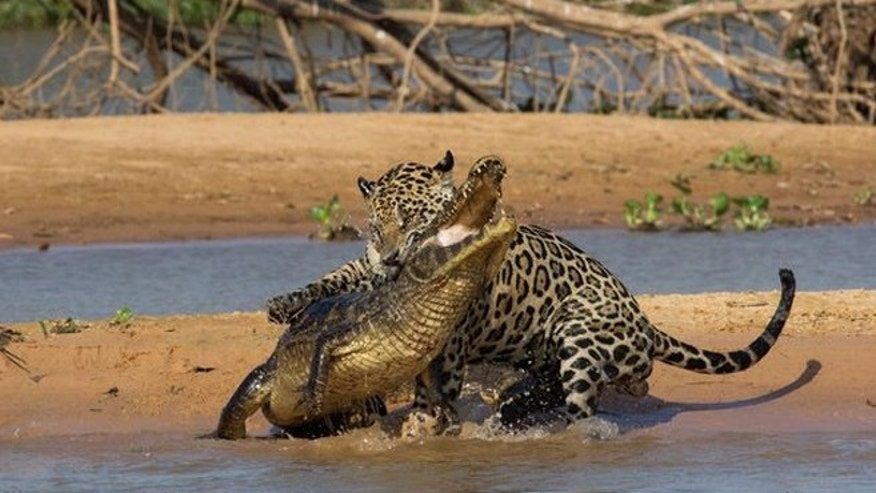 Mick Jaguar bites into the caiman&#39&#x3b;s neck.