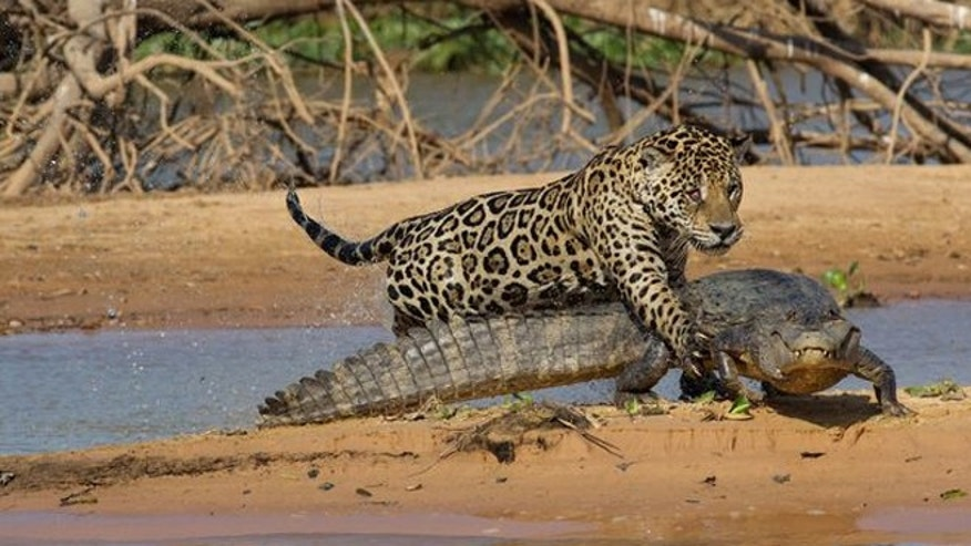 Mick Jaguar pounces on the unsuspecting 120-pound caiman in Brazil.