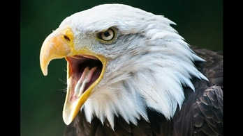 A new study has found that wind farms in 10 states have killed at least 85 eagles since 1997.
