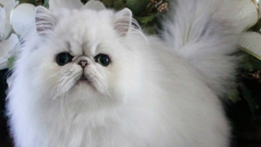 Iran is considering a persian cat, noted for their distinctive faces and long fur, into space.