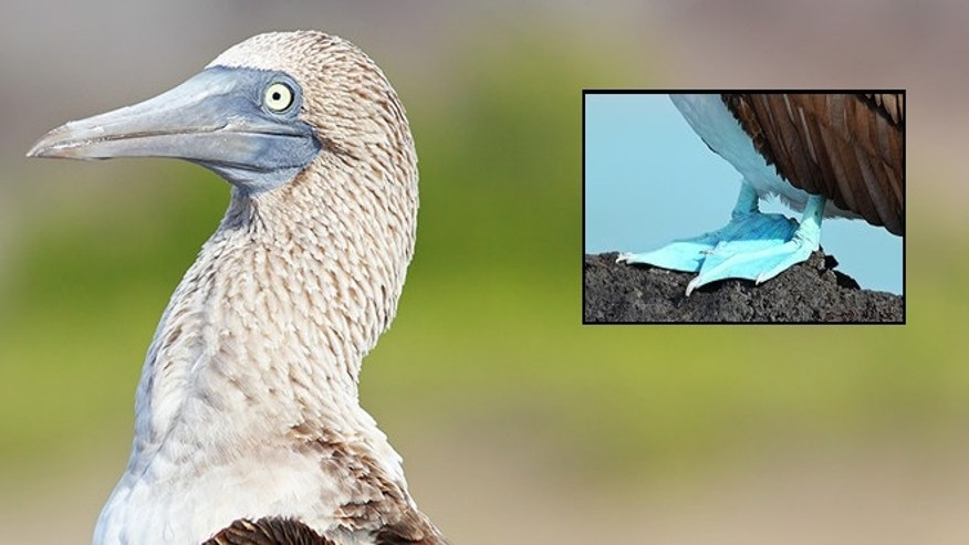 A photo of a blue-footed booby, taken in the Galapagos Islands. The booby is reportedly expanding its terrritority into California.