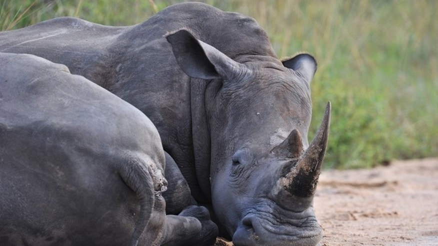 "A rhinoceros rests in the Kruger National Park near Nelspruit on February 6, 2013. South African national park officials claimed a significant victory in the battle against rhino poaching, saying they have arrested a man described as a ""kingpin"" in the illicit trade."