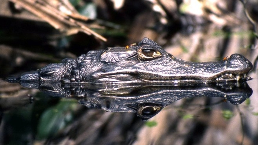 A photo of a spectacled caiman (Caiman crocodilus).