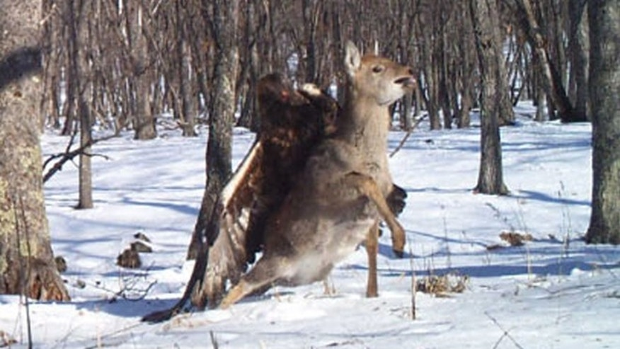 A camera trap set out for endangered Siberian (Amur) tigers in the Russian Far East photographed something far more rare: a golden eagle capturing a young sika deer.