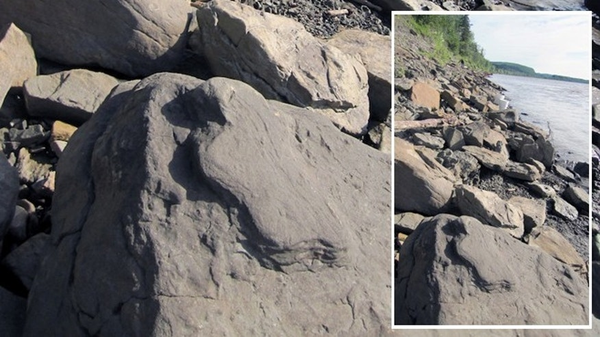 A dinosaur track exposed along the rocky shoreline of Yukon River. Finding the fossils involved walking along the riverâs banks and turning over rocks.