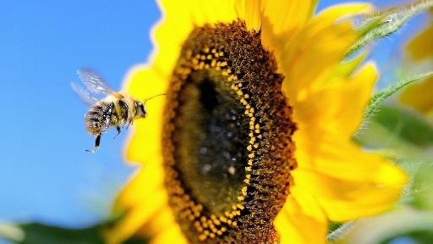 Sept. 4, 2013: A bumblebee flies next to a sunflower in Godewaersvelde, northern France.