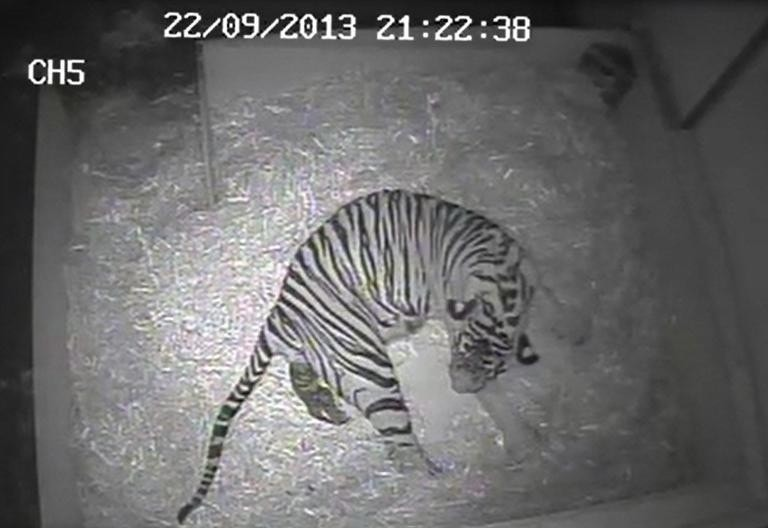 First tiger cub born at London Zoo in 17 years