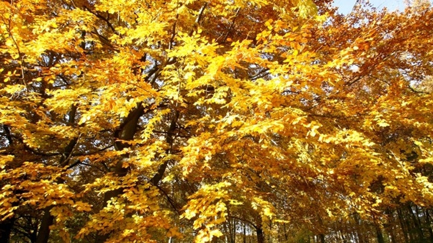 Trees may turn golden for reasons that have nothing to do with the onset of autumn.