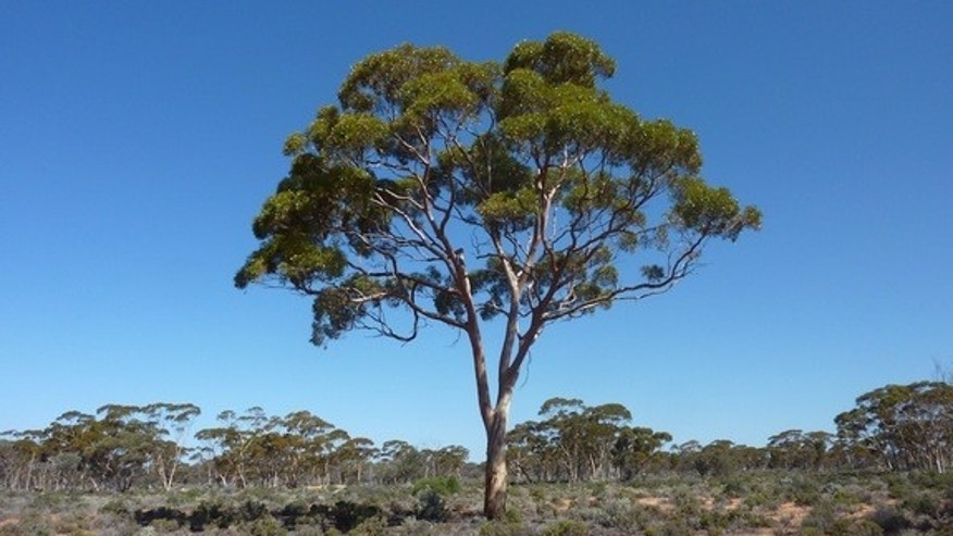 A Eucalyptus tree in the Australian Outback, where researchers took samples of branches and leaves from trees to look for tiny particles of gold that could hint at subterranean gold deposits.