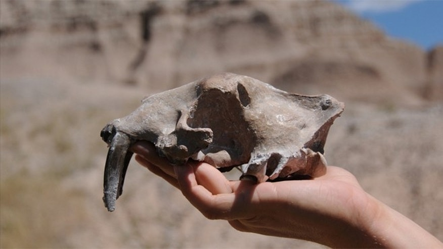 This is the skull found in 2010 at Badlands National Park which reopened the 70-year-old nimravid murder case. Two red arrows point out the paired the upper canine punctures.
