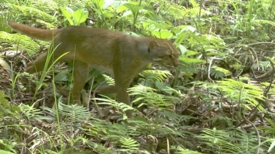 The bay cat, or Bornean marble cat, has only been recorded on video a handful of times before and was only first photographed in 2003.