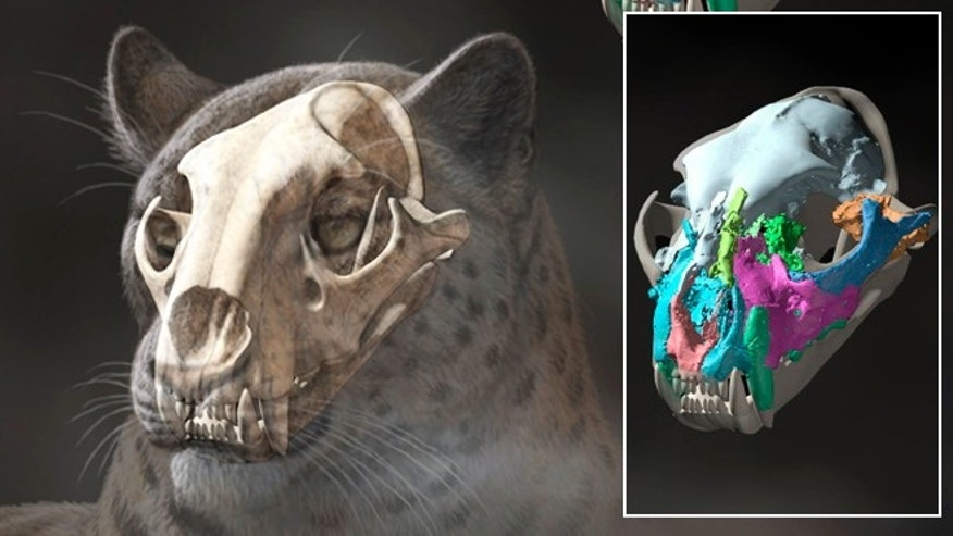 Nov. 13, 2013: This artist rendering shows a reconstruction of an extinct big cat, Panthera blytheae, based on skull CT scan data.