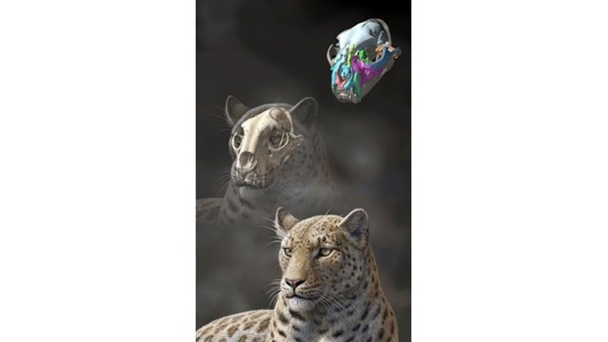 November 13, 2013: This artist rendering by Mauricio Anton of the Proceedings of the Royal Society B shows a reconstruction of an extinct big cat, Panthera blytheae, based on skull CT scan data. A team of researchers have discovered this oldest-yet big cat fossil, a 4.4 million-year-old skull. (AP Photo/Proceedings of the Royal Society B, Mauricio Anton)