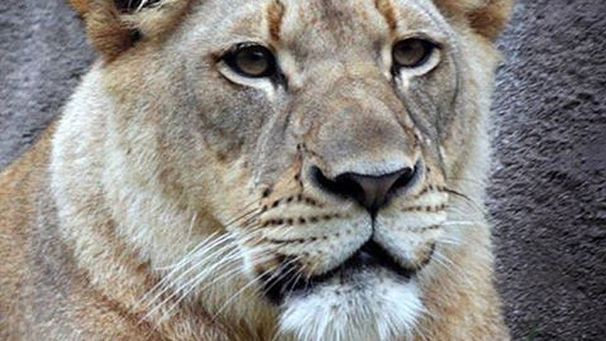 The female lion, 5-year-old Johari, was bitten on the neck by one of two male lions in the exhibit, Kamaia and Dinari, although it's unclear what lion delivered the fatal bite. Lynn Kramer, the zoo's vice president of animal operations and welfare, told MyFoxDFW.com said he had never seen such an attack in several decades of experience with the animals. (Dallas Zoo)