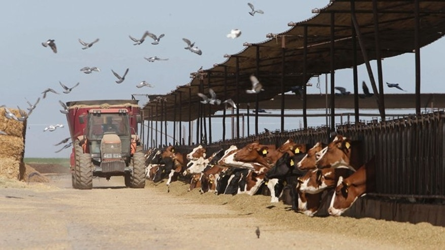 July 16, 2013: Cows feed at a dairy owned by Lucas Loganberg and his family, that sits on one of the proposed routes of California's high-speed rail system, near Hanford, Calif.
