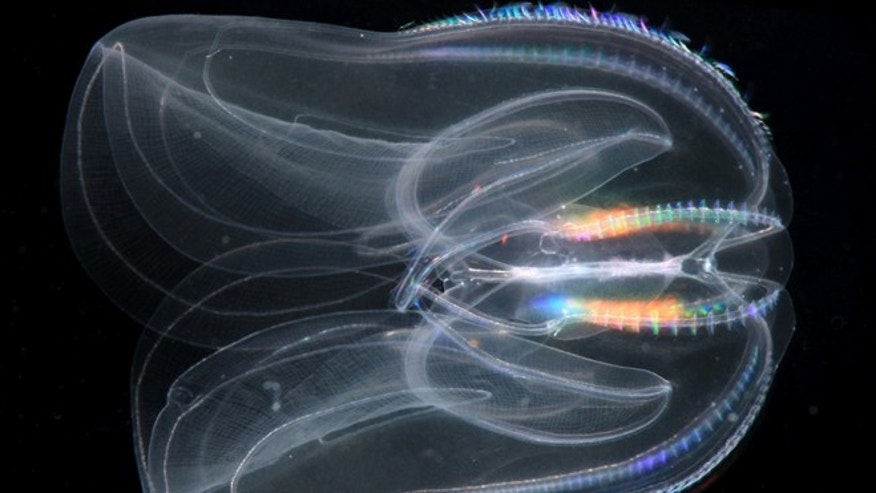 A Mnemiopsis leidyi, a species of comb jelly known as a sea walnut. A new study published in the journal Science says comb jellies, a group of gelatinous marine animals, represent the oldest branch of the animal family tree.