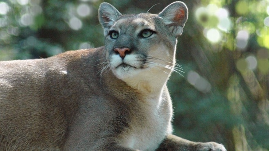 A panther, photographed in 2007 by the Florida Fish and Wildlife Commission.