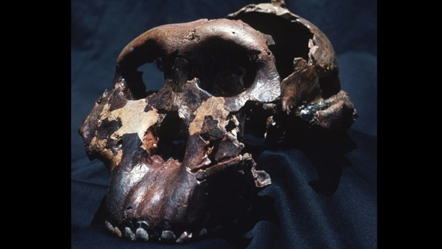 "The skull of ""Nutcracker Man,"" or Paranthropus boisei. The image is of Olduvai Hominid 5 (OH 5), the most famous of the early human fossils, which was found at Olduvai Gorge, Tanzania."