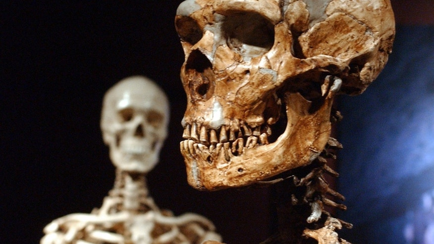 A reconstructed Neanderthal skeleton, right, and a modern human version of a skeleton, left, on display at the Museum of Natural History in New York.