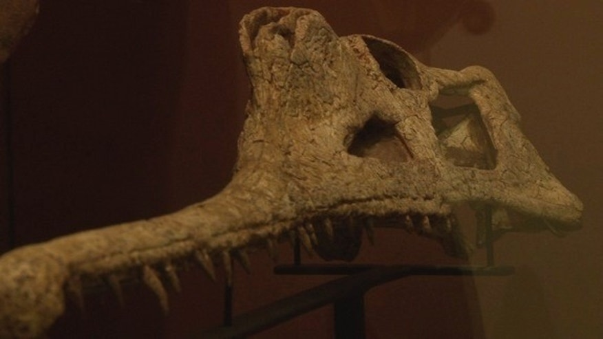 The skull of the phytosaur <i>Machaeroprosopus lottorum</i>.