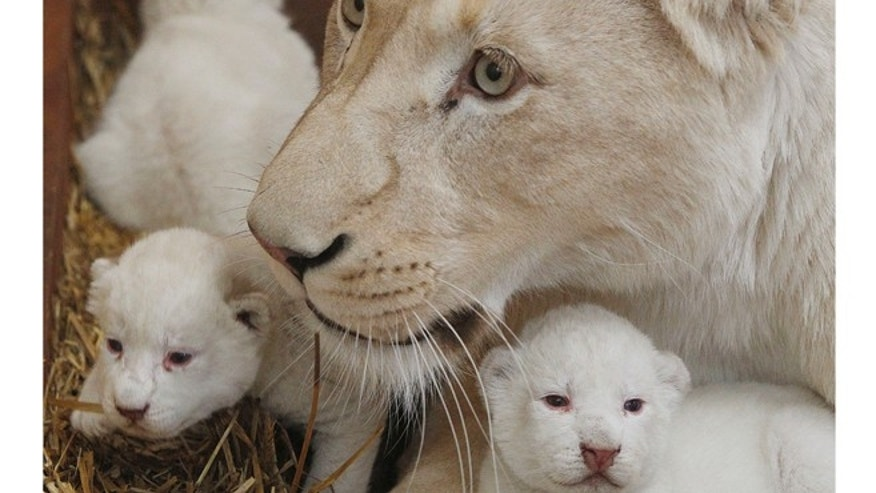 White lioness Azira lies in their cage with two of her three white cubs.