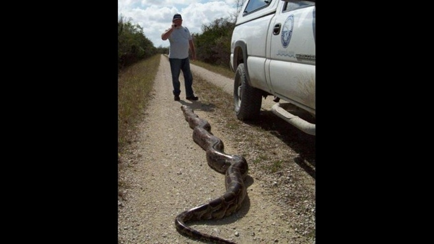 Feb. 4, 2014: Another 18-foot burmese phython was has been captured in the Florida Everglades.