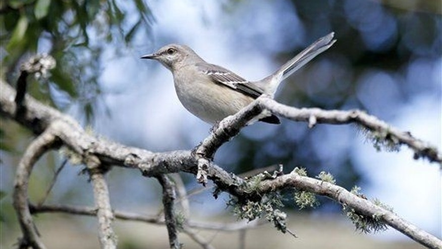 Steer clear of windows, Northern Mocking Bird.